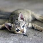 squashed kitten